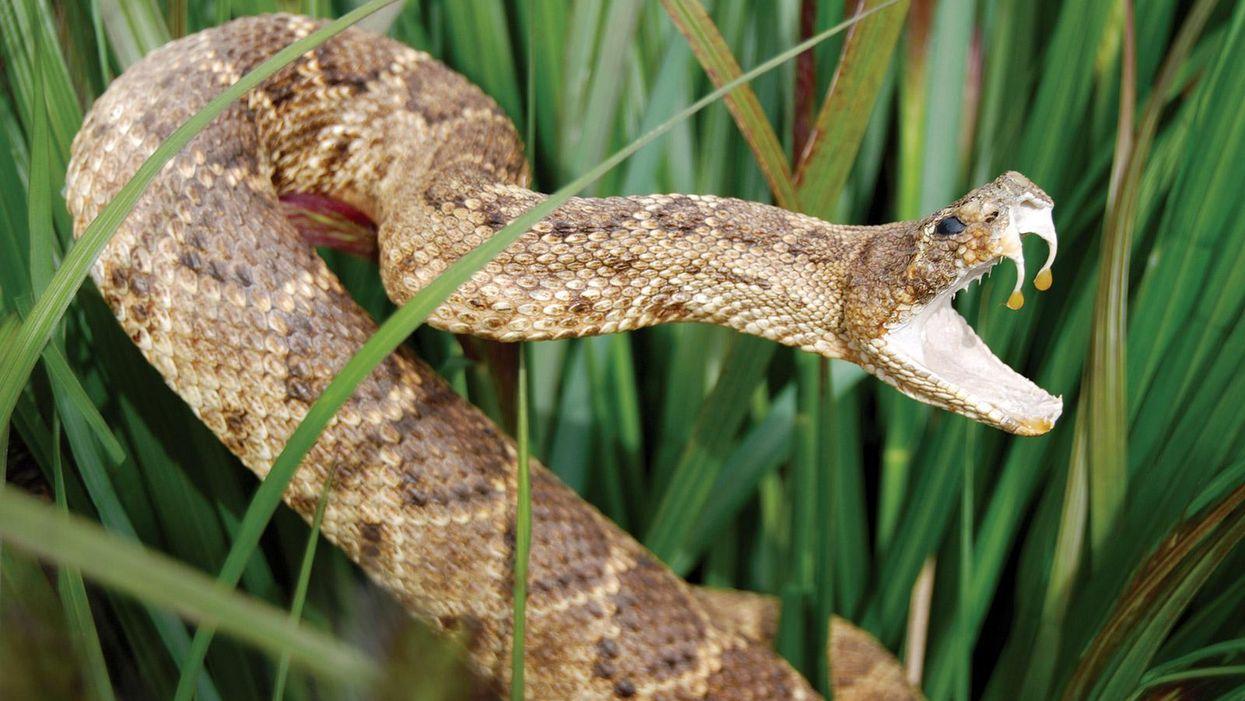 Defanging the Snake